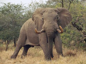 african-elephant-standing_9033_600x450